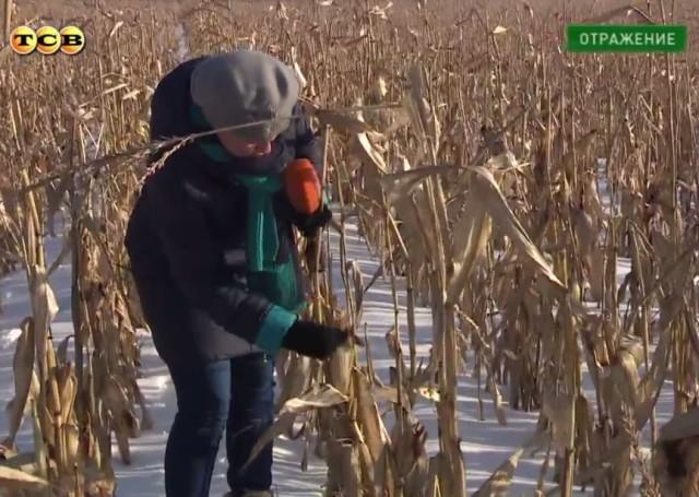 140218_кукуруза в снегу